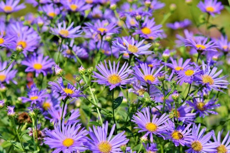 flowers, purple, green, plants, outdoor